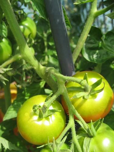 tomate, paprika, eiche