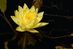 Yellow lily (Peter_Frank) Tags: flower reflection water yellow waterlily lily searchthebest takeabow abigfave thatsclassy picturefantastic theperfectphotographer