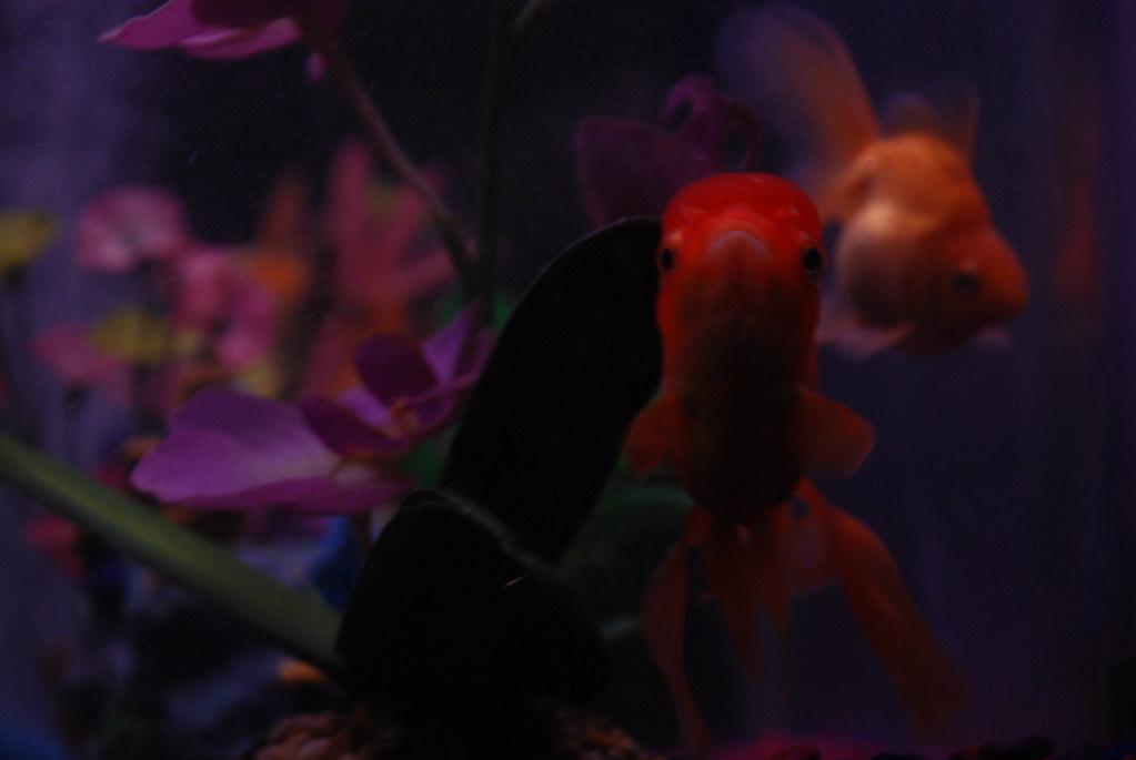 oranda and ryukin