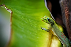 Out Of The Corner... (Bill Adams) Tags: hawaii reptile lizard explore gecko bigisland animalplanet kailuakona canonef70200mmf28lisusm madagascardaygecko