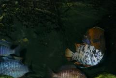 Fisk naerbillede (ordo.dk) Tags: fish fisk dyr