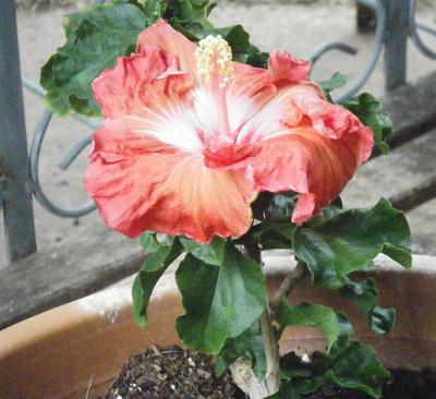 Amazon Queen Hibiscus