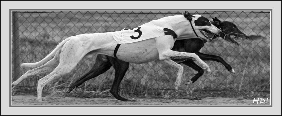 German Greyhound Stars: Who is Who?