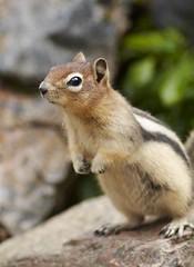 Golden Mantled Cutie! (andymcg7) Tags: canada rodent squirrel alberta lakelouise goldenmantledgroundsquirrel specanimal lakelouisewalk