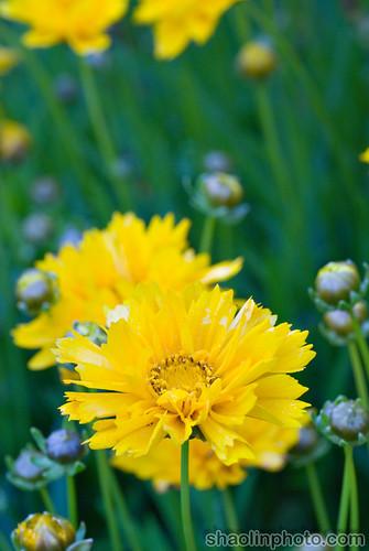 Burst of Yellow