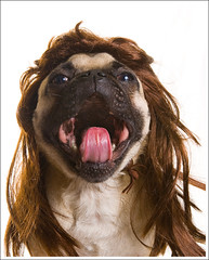 Now He Wants to Join a Hair Band ([Christine]) Tags: dog funny mullet pug wig wookie impressedbeauty goldstaraward
