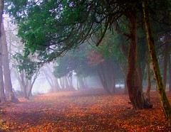 Yew grove in mist (tina negus) Tags: uk trees mist pool landscape lincolnshire yew belton naturesfinest vob 5gates