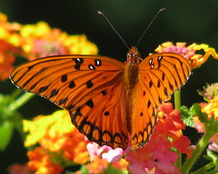 12 Days of Christmas Butterflies - #1Gulf Fritillary (Vicki's Nature) Tags: orange canon butterfly georgia vivid fritillary s5 gulffritillary naturesfinest abigfave colorphotoaward impressedbeauty citrit vividmasters natureoutpost goldstaraward vickisnature beautifulworldchallenges 100commentgroup vosplusbellesphotos gamef goldstarawardcontest44 12daysofchristmasbutterflies motherbutterflies