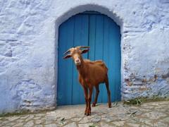 Cabra ({ Fernanda } Fascinating Food) Tags: morocco chaouen chefchaouen marruecos cabra xauen