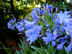 Afternoon shade (Murfomurf) Tags: blue summer afternoon adelaide agapanthus australiasalsa