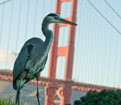 Great Blue Heron and Golden Gate Bridge (Eliya) Tags: sanfrancisco bridge bird heron animal goldengatebridge fortpoint greatblueheron ftpoint ardeaherodias