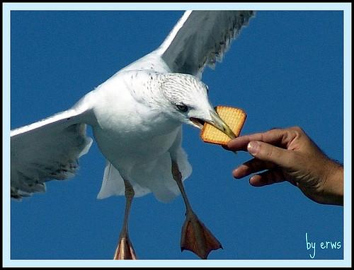 bird seagull gabbiani gabbiano birdwatcher ionathan... (Photo: Erwss, peace&love on Flickr)