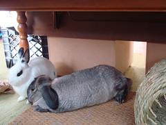 Hodge laying next to Yoshimi (Justin Snow) Tags: pet rabbit bunny bunnies animal snuggle rabbits