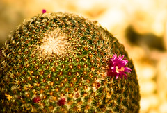 flowering cactus (alan shapiro photography) Tags: cactus green floweringcactus ashapiro515 2010alanshapiro alanshapirophotography wwwalanwshapiroblogspotcom 2010alanshapirophotography
