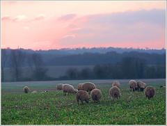 Sunset at Bucklebury (jo92photos) Tags: uk winter sunset england field landscape sheep horizon pinksky berkshire countrylife settingsun winterlandscape winterscene flockofsheep bucklebury allrightsreserved westberkshire myfuji s100fs jo92photos
