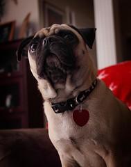 Fez's First Flash Photo (mpflies2) Tags: portrait dog canon hair puppy virginia tag flash pug canine fawn fez gloucester collar wrinkle 50d