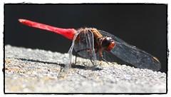 Crimson Tailed Marsh Hawk (Ganesh @bantakal.com) Tags: red india crimson canon insect flying dragonfly hawk bugs marsh 28 usm karnataka tailed udupi 200mm