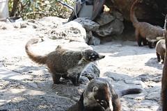 Tejon en Tepozteco (Rafael David De la Vega) Tags: nature animal fauna tepoztlan tejon tepozteco