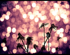 s u n s e t  bokeh (Just Kimberlee) Tags: pink flowers sunset flower nature wednesday garden purple bokeh scout explore frontpage deadflowers explored hbw bokehlicious anawesomeshot auniverseofflowers bokehland bokeholic