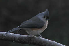 Titmouse on Branch (mainah in ct) Tags: bird titmouse