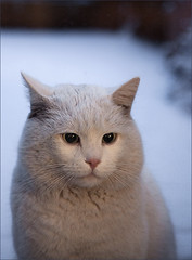 Ice-Cat (AnyMotion) Tags: schnee winter portrait pet cats white snow detail nature animals tiere stranger rs 2009 katzen whitecat kater eisbr blueribbonwinner anymotion bej 25faves portraitaufnahmen bestofcats theunforgettablepictures canoneos5dmarkii theperfectphotographer 5d2 vosplusbellesphotos