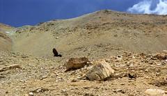 Himalayan crow (reurinkjan) Tags: 2002 nikon tibet everest rongbuk tingri jomolangma janreurink rongphuchu བོད། བོད་ལྗོངས།