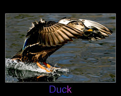 ~ DUCK ~ (ViaMoi) Tags: wild nature water canon photography fly duck wings pond action wildlife flight