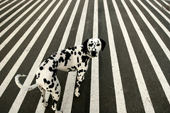 dots or stripes (SpacerJesusnet) Tags: dalmatian thelittledoglaughed artlibres highqualitydogs
