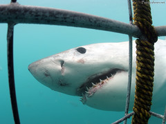 Great White Shark in Gansbaai. Cage diving at White Shark heaven: Gansbaai, South Africa. 2005. (Rudgr.com) Tags: sea wallpaper water southafrica shark high underwater nemo widescreen teeth wide dive scuba diving cage screen hires scubadiving sharks hi wallpapers submerged whitie whiteshark wallaper gansbaai cagediving wallapers cagedive mygearandmepremium mygearandmebronze cagediver