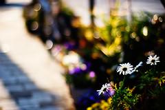 in the afternoon sun (moaan) Tags: life flower digital 50mm flora dof bokeh walk utata roadside stroll 2009 brilliant afternoonsun f12 rd1s inlife epsonrd1s bytheroadside konicahexanon50mmf12 konicamhexanon westeringsun gettyimagesjapanq1 gettyimagesjapanq2