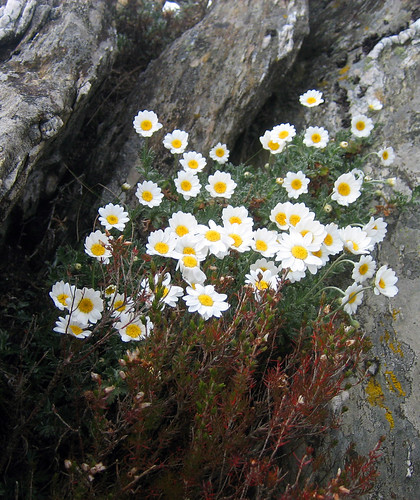 Margaridas da serra do Candán