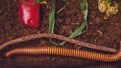 'Pede (nebarnix) Tags: pets brown animals yellow movie walking gold moving video movement tan running bugs clip bands rings captive crawling millipede videos ringed locomotion banded millipedes myriapoda ornatus diplopoda desertmillipede orthoporus spirostreptidae nebarnix spirostreptida