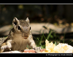 Let Me Eat !!! (Vivek Dikshit) Tags: portrait food india animal lunch squirrel indore canon1000d vivekdiskhit