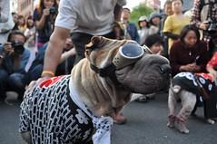Asakusa Sanja Matsuri - Dog and Sake