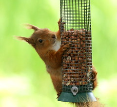 Tufty - caught red handed! (SteveJM2009) Tags: uk red cute eye beauty june fur squirrel focus dof bokeh harbour fingers birdfeeder feeder ears dorset villa peanut poole tufty redsquirrel stevemaskell sciurusvulgaris brownseaisland dwt 2011 dorsetwildlifetrust