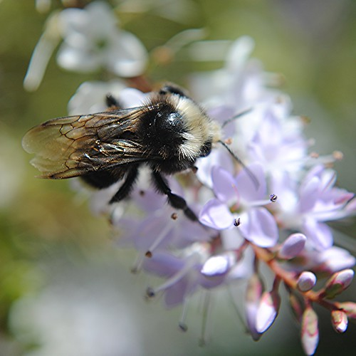 Fuzzy bee on delicate purple flower spray by jungle mama