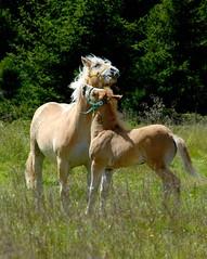Horses (cienne45) Tags: friends horses italy quote cienne45 carlonatale explore natale naturesfinest artisticexpression flickrsbest xploremypix explorewinnersoftheworld exploreexset explore1336
