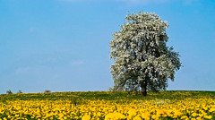 Spring 2006 (Klaus1953) Tags: tree nature field yellow spring natur wiese himmel gelb blau frhling obstbaum mywinners abigfave colorphotoaward flickrplatinum klaus1953