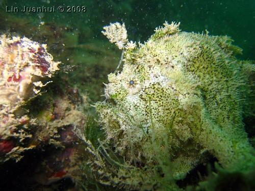IMG_4082 frogfish