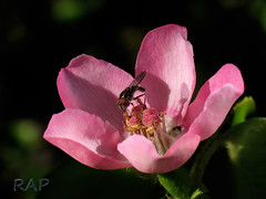 Chinese Quince and Hoverfly (R@P = RAPALON (New Logo)) Tags: naturaleza flower macro nature argentina closeup bug insect buenosaires bokeh flor flies mosca hoverfly quince insecto rosaceae naturesfinest syrphid naturesgallery mywinners heartawards flickrsheaven betterthangood shiningstar oltusfotos