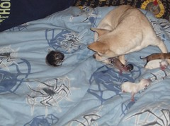 First time Mommy (picnut1) Tags: angel puppies
