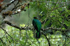 Golden-headed Quetzal (hogsas) Tags: bird peru birds nikon nikond70s manu quetzal pharomachrusauriceps goldenheadedquetzal quetzals manuroad peruvianbirds