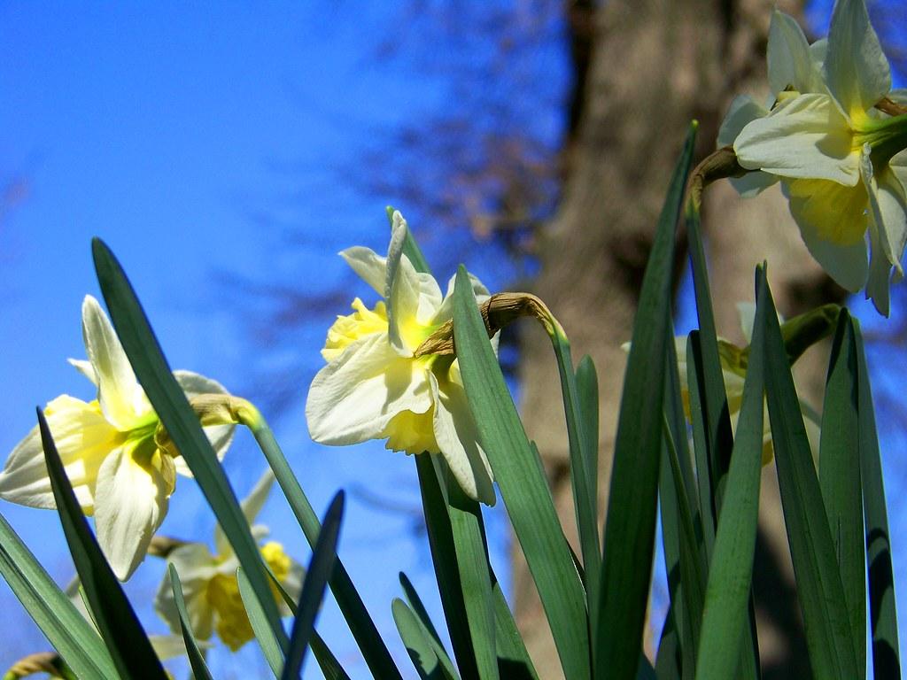 daffodil closeup