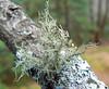 lichen m3