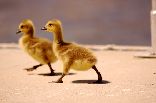 racing baby geese