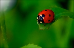 On The Edge (Matteo Foiadelli) Tags: red macro green nature grass closeup bug nikon colours vivid natura bugs ladybug vr outpost 70300 coccinella d80 outstandingshots outstandingshotshighlight foiadelli theunforgettablepictures naturewatcher platinumheartaward discoveryphotos gemsofnature salveanatureza