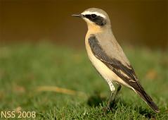 (N-S-S) Tags: bird birds nikon sigma kuwait nikkor  nasser 800mm  nss    vwc   oenanthehispanica  d2xs golddragon    kvwc      alsolihem