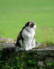 Baloo daydreaming on the garden wall (baloochester(more than slow)) Tags: mywinners kissablekat bestofcats baloochester