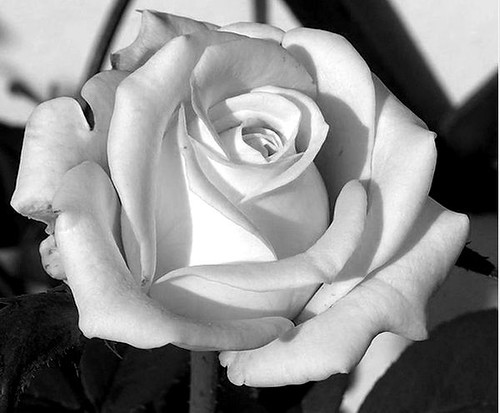 black and white rose drawing. I changed it to lack and