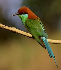Blue-throated Bee Eater AFN (Rey Sta. Ana) Tags: wild bird birds wildlife philippines manila rey avian palawan wildbirds mantarey candaba staana